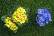 Примулы цветут