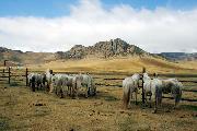 Белые лошади Монголии