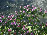 """Цветет """"багульник"""" в Центральном парке..."""