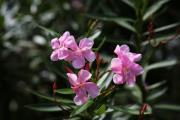 Цветы Бали.