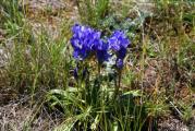 Цветы Ольхона. Горечавка
