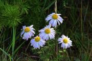 Цветы Ольхона. Ромашки