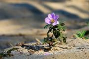 Поздний цветок уронил лепесток...