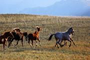 Мчатся кони... (Из Ольхонского альбома)
