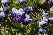 Цветут ирисы