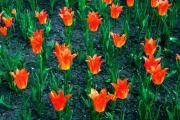 Тюльпаны в Александровском саду